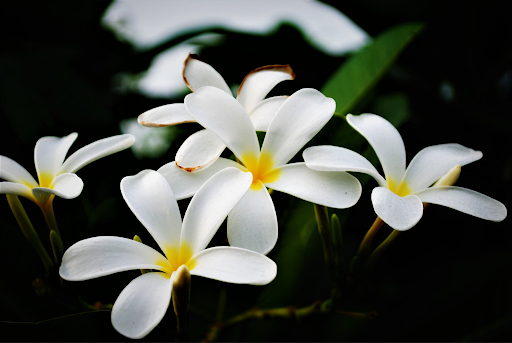 ดอกไม้ประจำประเทศอาเซียน