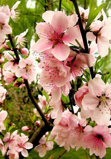 ดอกไม้เสริมดวงความรัก ดอกท้อ peach blossom