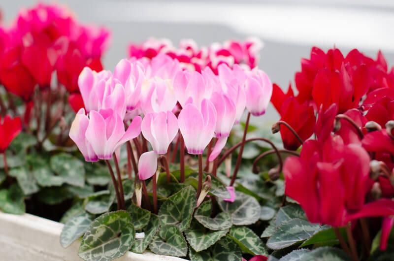 ดอกไม้ปลูกหน้าหนาว