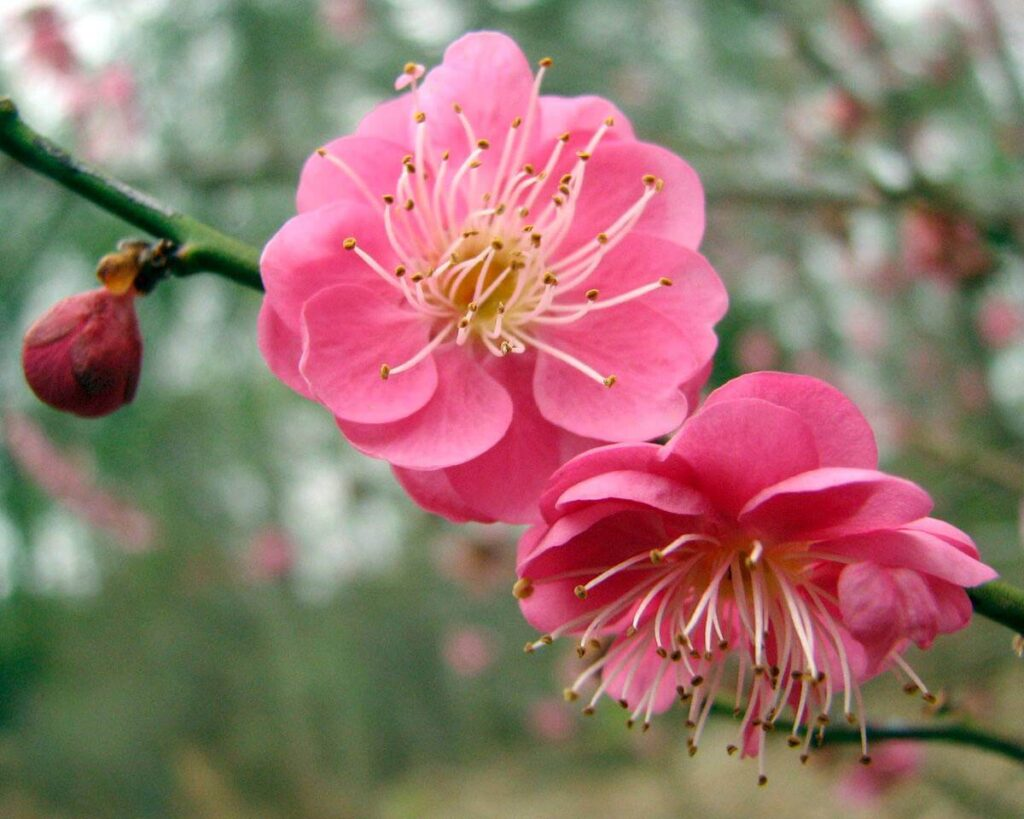 ดอกไม้มงคลในวัฒนธรรมจีน