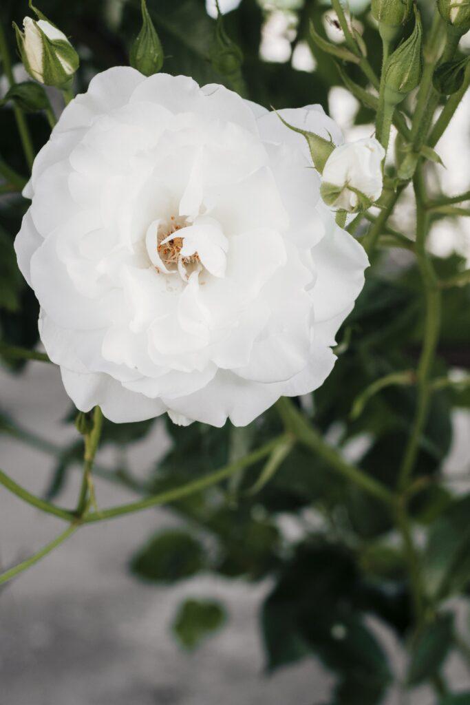 ดอกไม้แต่งบ้าน การ์ดิเนีย พุดซ้อน