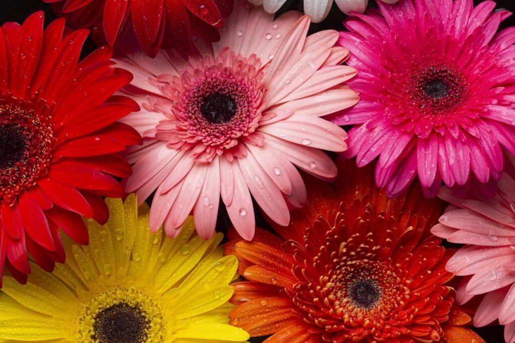 ดอกไม้ให้แฟน เยอบีร่า