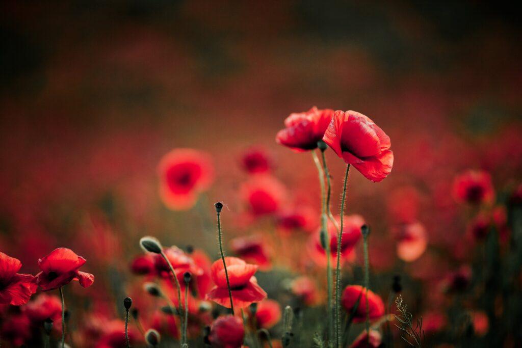 ดอกไม้สีแดง ป็อปปี้