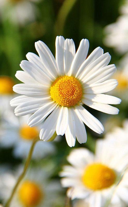 ดอกไม้แทนความสุข เดซี่