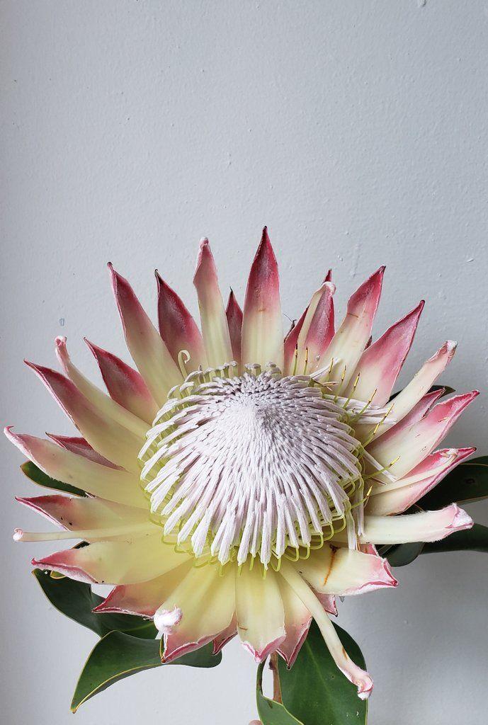 king protea ดอกไม้สวยจากรอบโลก