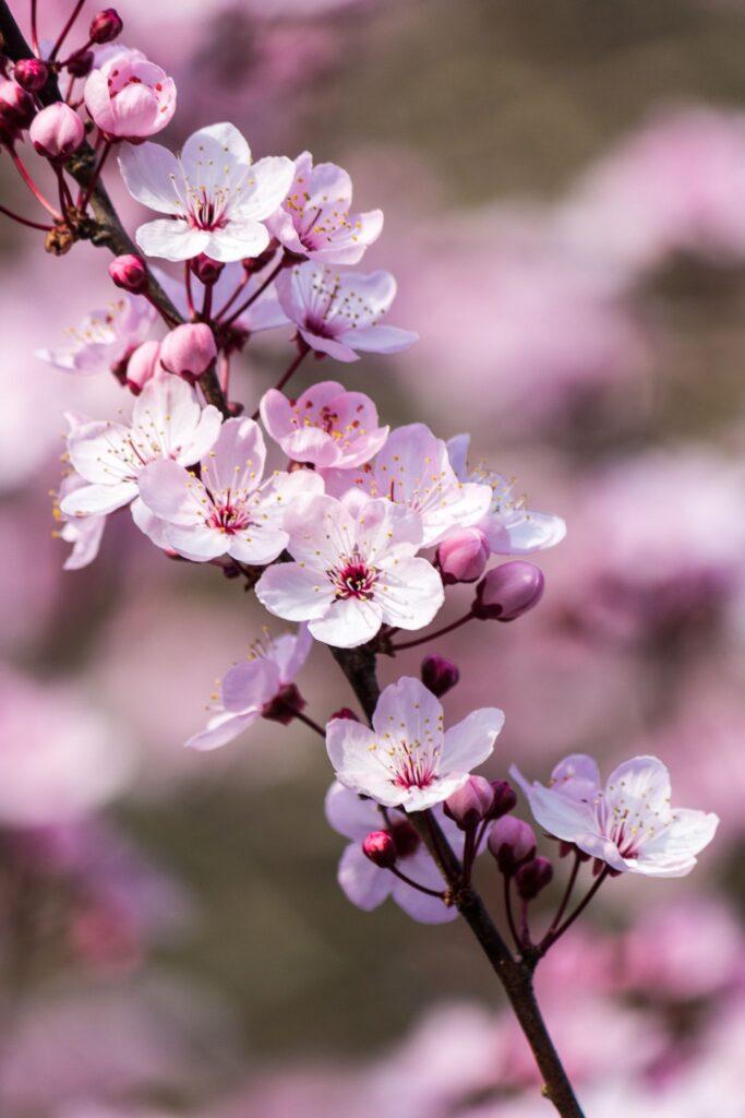 ดอกไม้มงคล ตามหลักฮวงจุ้ย ซากุระ