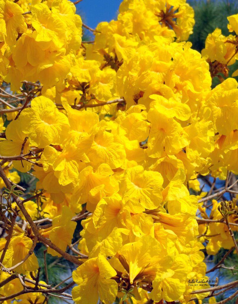 ทาเบเบีย ดอกไม้สวยจากทั่วโลก