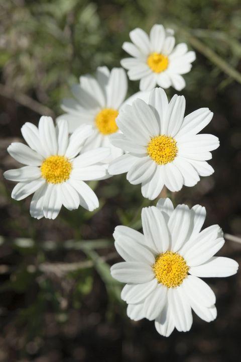 คาโมมายล์ ดอกไม้สวยจากทั่วโลก
