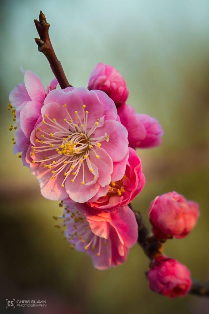 ดอกพลัม ดอกบ๊วย ดอกไม้สวยจากทั่วโลก