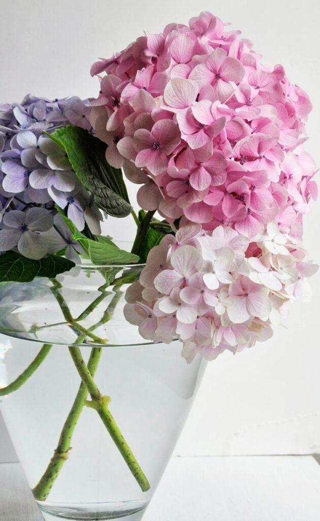 ดอกไม้ให้ผู้ใหญ่ ไฮเดรนเยียร์