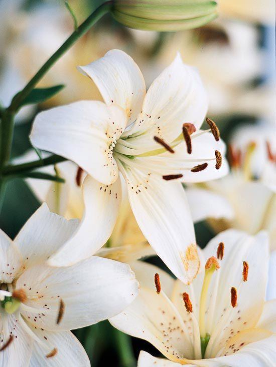 ดอกไม้ให้ผู้ใหญ่ ลิลลี่