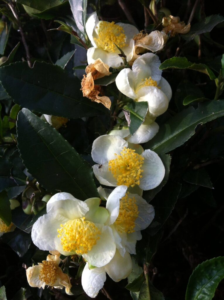 """ดอกกระทิง เสน่ห์ 6 ดอกไม้ไทย หอมเย้ายวนชวนหลงใหล ร้านดอกไม้ออนไลน์ จัดส่งฟรี Great Flower Studio ได้รวบรวมดอกไม้ไทย 6 ชนิดที่ทั้งหอมและเย้ายวนใจผู้คนสุดๆ มาฝากทุกคนกันค่ะ ดอกไม้เป็นสิ่งที่อยู่คู่กับผู้คนมาตลอด ไม่ว่าจะเป็นที่ไหนๆ ในโลก ดอกไม้ก็ได้รับความนิยมและฝังอยู่ในวัฒนธรรมมาเสมอ ในประเทศไทยเองก็เช่นกัน ดอกไม้ที่เป็นดอกไม้ถิ่นของไทย มักเป็นดอกไม้ที่มีกลิ่นหอม สีสีขาว สีเหลืองนวล ดอกไม้ที่มีสีสันสดใส ก็มีให้พบได้เช่นกันค่ะ ดอกไม้ไทยนั้น มักจะพบได้ทั่วไปในประเทศในโซนเอเชียตะวันออกเฉียงใต้นี้เองค่ะ เพราะมีลักษณะภูมิประเทศใกล้เคียงกัน และมีดอกไม้ไทยบางชนิดที่พบได้ในทวีปอื่นๆทั่วโลกด้วย เพราะเป็นดอกไม้ที่มีให้พบได้ทุกที่ หรือในอดีตประเทศต่างๆมีการติดต่อกันเพื่อการค้าและความสัมพันธ์ระหว่างประเทศและมีการนำดอกไม้ ต้นไม้ต่างๆ เดินทางไปขยายพันธุ์ด้วยนั่นเอง ดอกไม้ขนิดเดียวกัน จึงอาจมีชื่อเรียกแตกต่างกันออกไปฝนแต่ละประเทศ มาลองดูกันว่า จะมีดอกไม้ไทยพันธุ์ไหนบ้างที่ทุกคนคุ้นเคยหรือรู้จัก เราคัดเลือกดอกไม้ของไทยมา เพียง 6 ชนิดเท่านั้น แต่ในความจริงแล้วดอกไม้ไทยนั้นมีเป็นร้อยเป็นพันธุ์ชนิดเลยค่ะ 6 ดอกไม้ไทยกลิ่นหอม ปีบ (Indian Cork Tree) ดอกปีบเป็นดอกไม้ดอกเล็กๆ สีขาว มีกลิ่นหอมบางๆ หอมละมุน ไม่ว่าใครได้กลิ่นก็ต้องหลงรัก ดอกปีบนี้พบได้ทั่วไปในประเทศไทย ชื่อ """"ดอกปีบ"""" นั้นเป็นชื่อที่ใช้เรียกกันในภาคกลาง ในภาคเหนือจะเรียกว่า """"ดอกกาสะลอง"""" และในภาคอีสานจะเรียกว่า """"ดอกกางของ"""" ดอกปีบนั้นนอกจากจะให้กลิ่นหอมแล้วยังมีสรรพคุณทางยาอีกด้วย ดอกปีบมักถูกนำไปทำให้แห้งแล้วนำมาใช้สูบเป็นยารักษาโลกเช่นโรคไซนัสหรือโรคหอบหืดได้ด้วย Image from davesgarden.com กระดังงาไทย (Ylang-ylang) ดอกกระดังงาไทย แม้จะเรียกว่ากระดังงาไทย แต่มีความเป็นไทยได้มากกว่าจะมีถิ่นกำเนิดที่ประเทศแถบอินโดนีเซียหรือมาเลเซีย เพราะชื่อ Ylang-ylang เป็นภาษาตากาล็อก อ่านว่า อีลาง-อีลาง รูปร่างของดอกกระดังงานค่อนข้างจะมีเอกลักษณ์มากทีเดียว ดอกกระดังงาไทยจะมีกลีบดอกค่อนข้างคดเคี้ยว เรียงกันคล้ายรูปดาว กลิ่นของดอกกระดังงาไทยนี้จะมีกลิ่นที่หอมแรง มีความเข้มข้น และ กลิ่นออกหวานๆ ปนกับกลิ่นสดชื่นของดอกไม้ Image by David Clode กระทิง (Alexandrian laurel) ดอกกระทิงเป็นดอกไม้ที่จะออกดอกเป็นช่ออยู่ตรงปลายกิ่งก้านของต้นกระทิงที่เป็นไม้ยื"""