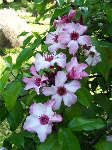 แย้มปีนัง ดอกไม้ไทย