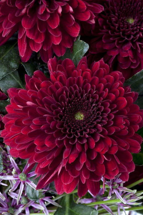 ดอกไม้วันฮาโลวีน ดอกเบญจมาศ สีเบอร์กันดี