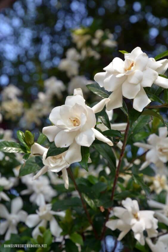 พุดซ้อน ดอกไม้ไทย
