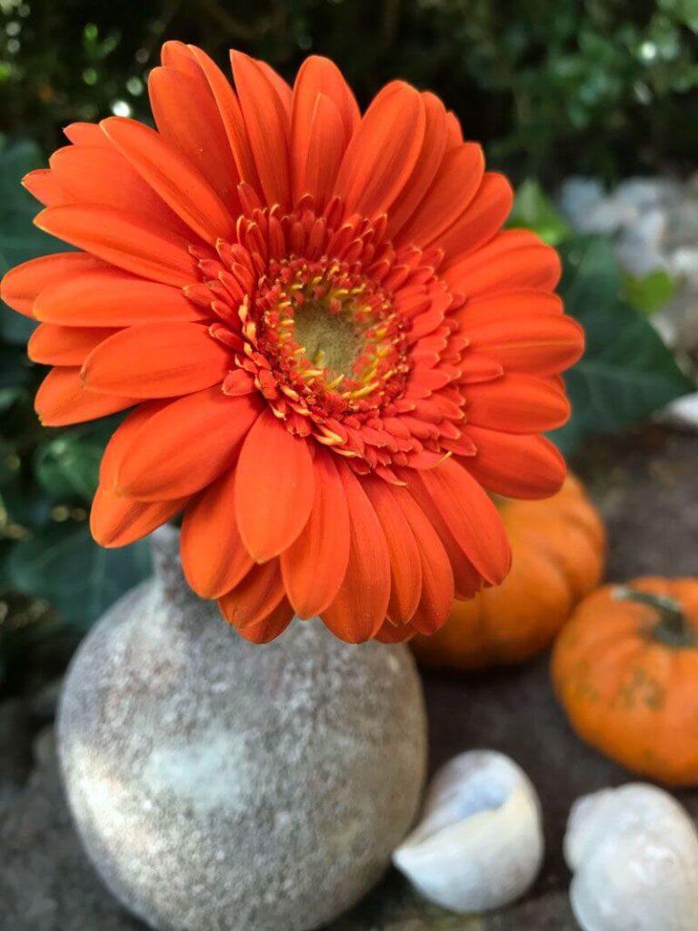 ดอกไม้วันฮาโลวีน เยอบีร่า สีส้ม