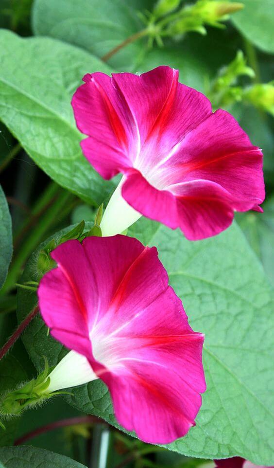 ดอกไม้ญี่ปุ่น asagao morning glory ผักบุ้งญี่ปุ่น มอร์นิ่งกลอรี่