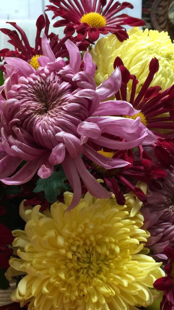 ดอกไม้ญี่ปุ่น คิคุ kiku เบญจมาศ มัม Chrysanthemum