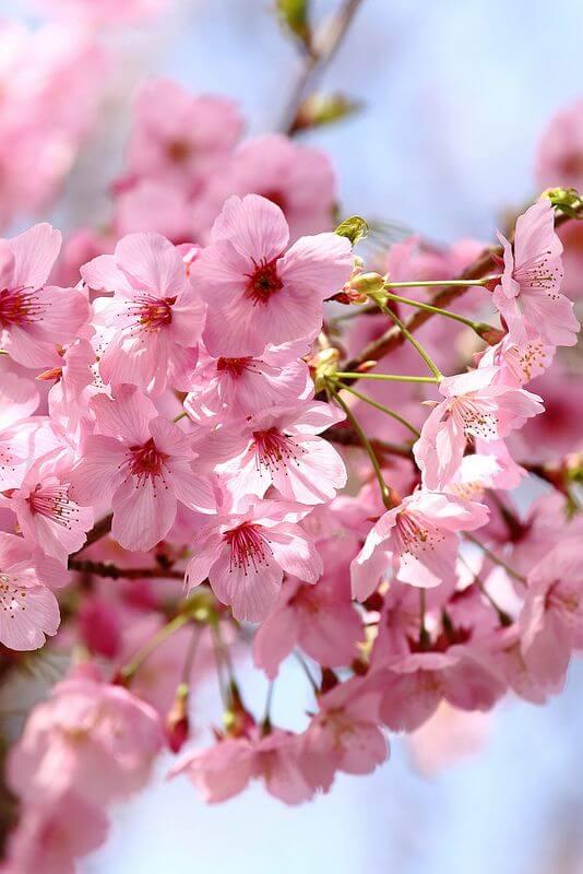 ดอกไม้ญี่ปุ่น ซากุระ sakura cheery blossom